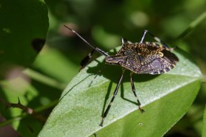 Stink bug measures in Australia